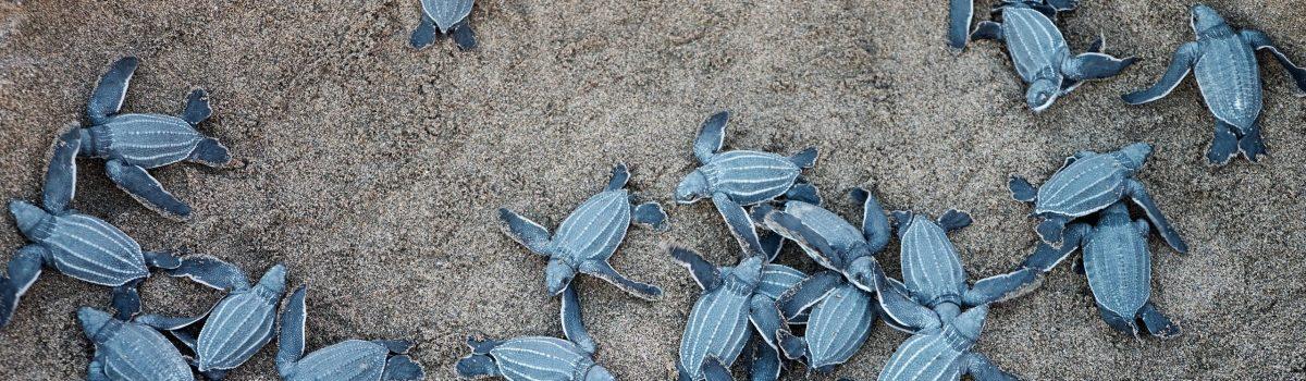 Thailand's rare sea turtles make a comeback